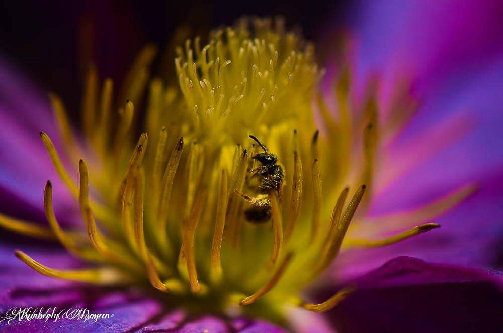 A bee collecting pollen in the center of a flower.