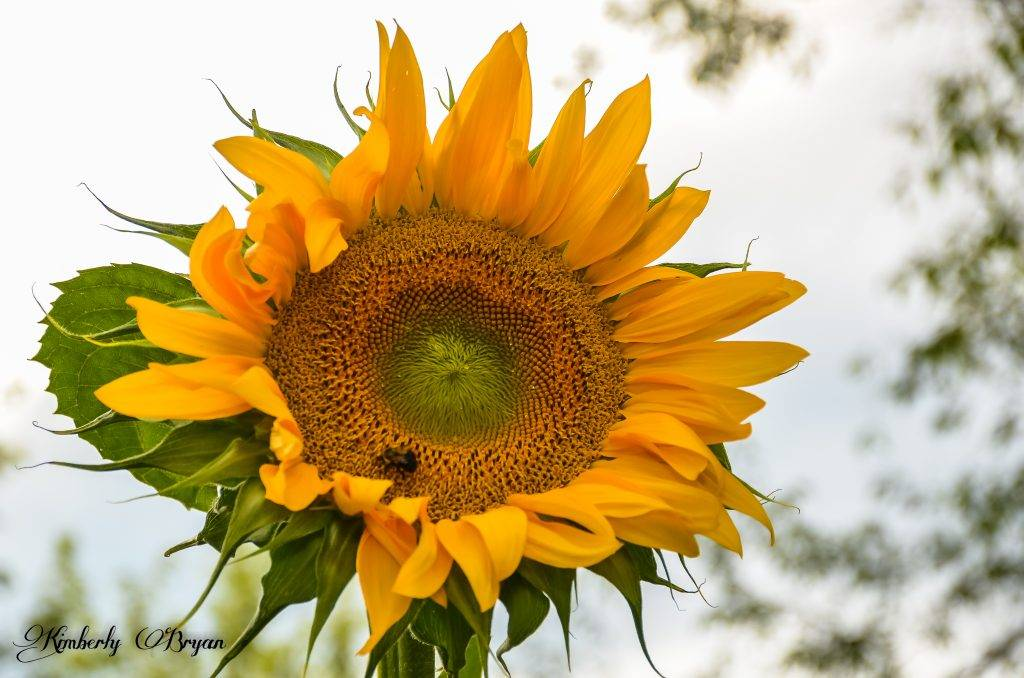 Large sunflower facing the sun with a bumble bee resting in the center.