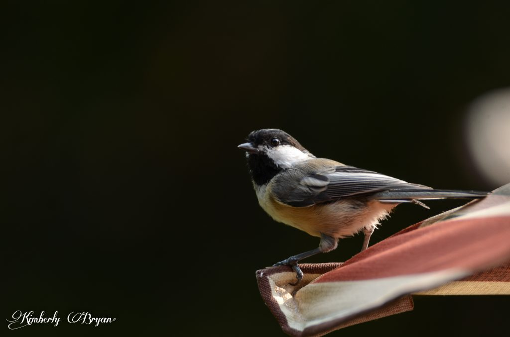 Chickadee watching me photographing him while he's looking for bugs.