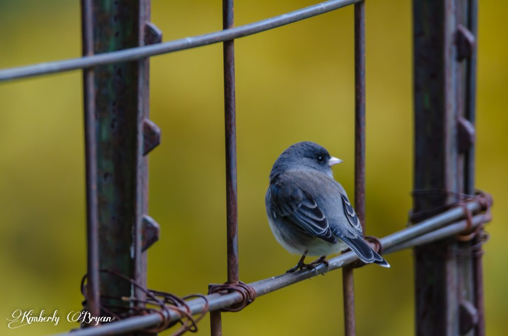 Little junco sitting on my garden fence.