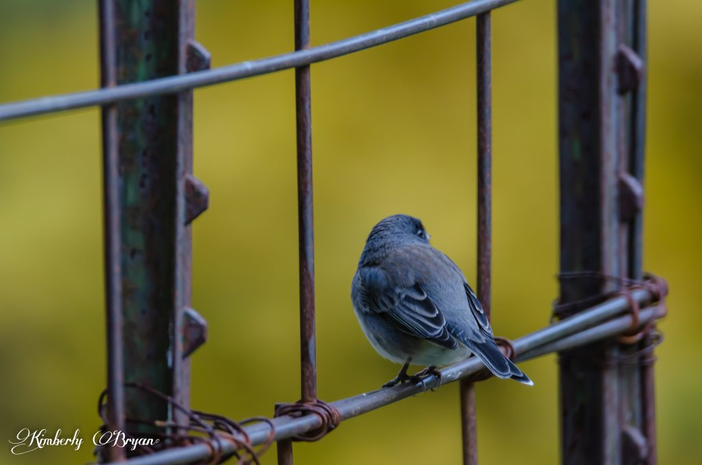 Little junco turned around on my garden fence.