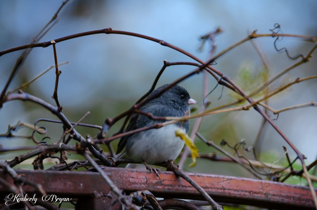Junco sitting peacefully after eating his treat.
