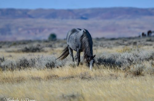 Wild mustang in a sage color. Only one of his color in the entire herd. He is very rough from his years of battles. With the other stallions.