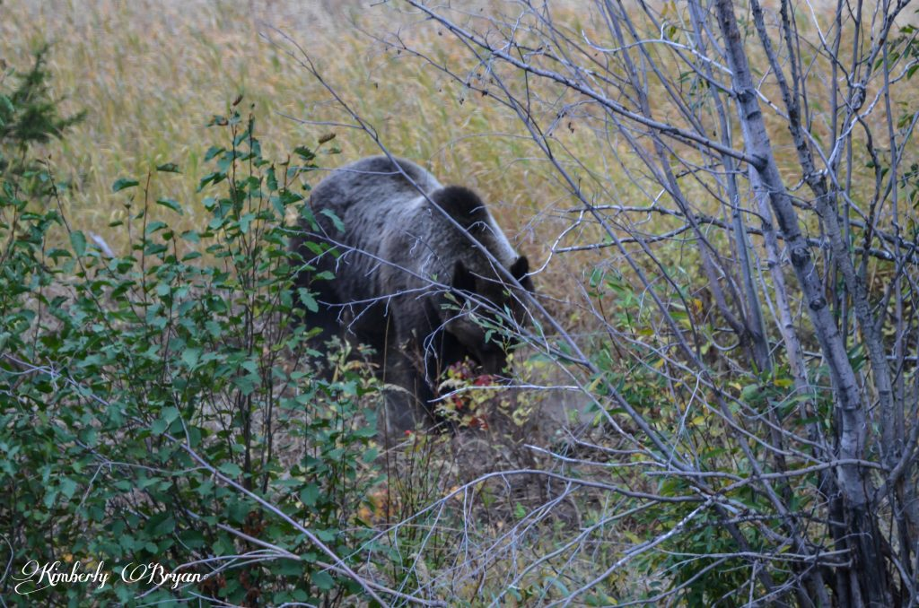Grizzly digging around.