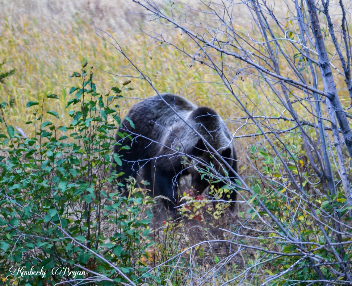 A male grizzly digging around in the dirt.