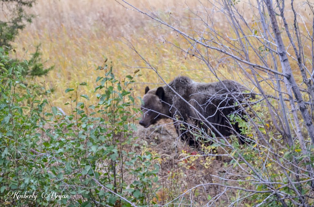 Grizzly moving behind some shrubbery.
