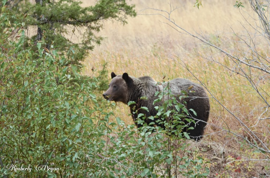 Male grizzly standing and looking on ward.