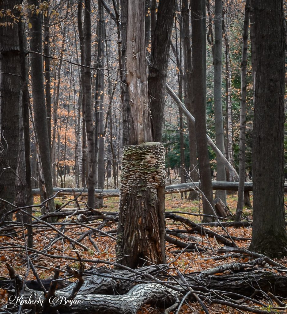 Old tree stump covered in shelf mushrooms.