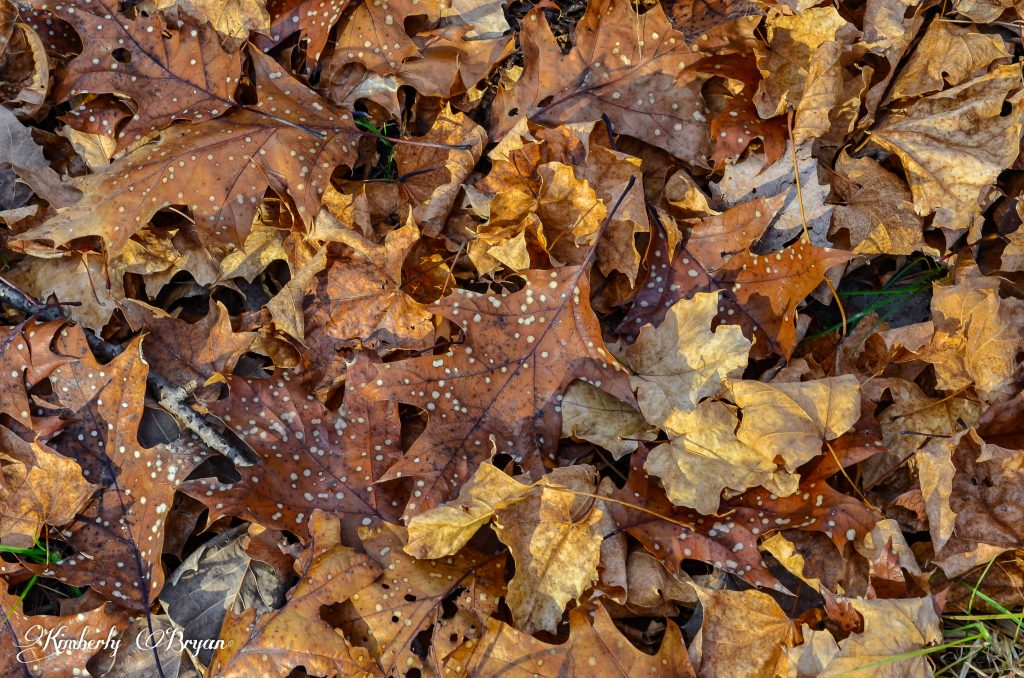 Spotted leaves on the forest floor.