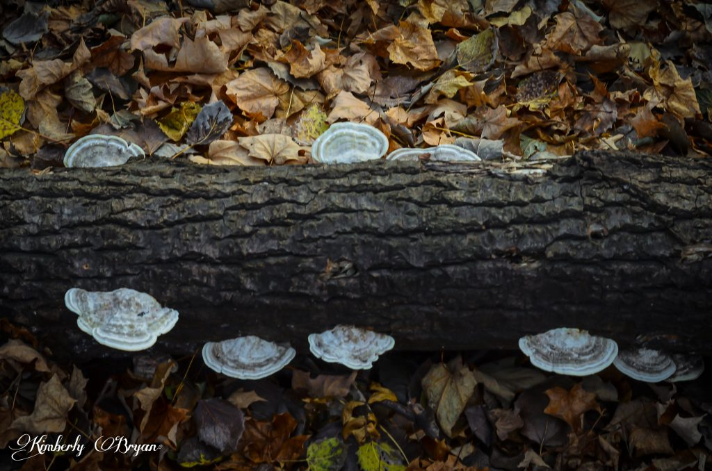 Creamy white shelf mushrooms on a log.