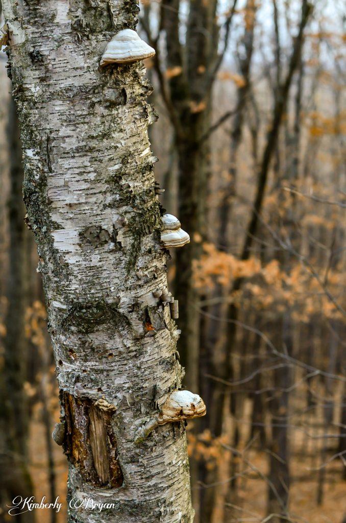 Shelf mushrooms growing on an old Birch tree.