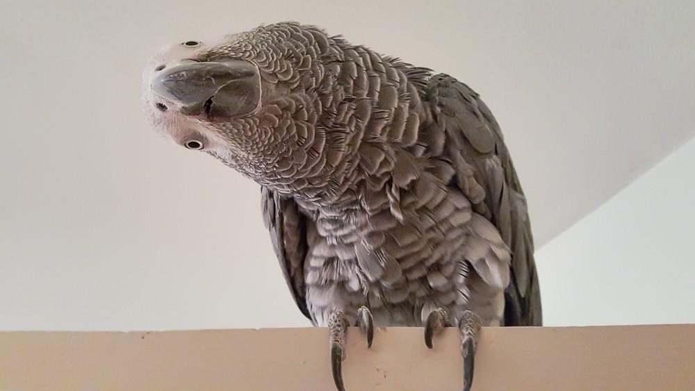 Amos my African Grey, tilting his head sideways.