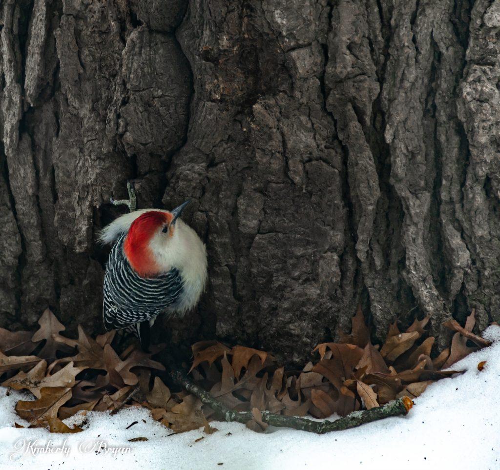 Red-Bellied Woodpecker near the bottom of an oak.