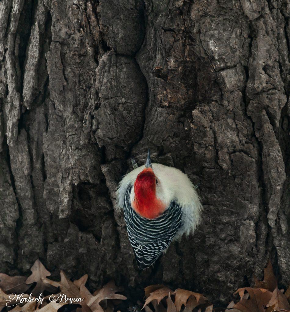 Red-bellied woodpecker climbing down an oak tree.