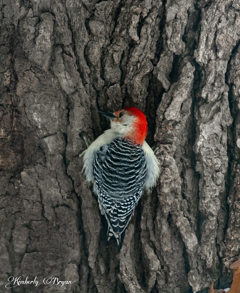 Red-bellied woodpecker resting on an old oak tree.