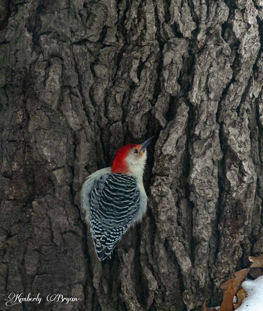 Red Bellied woodpecker searching for bugs.