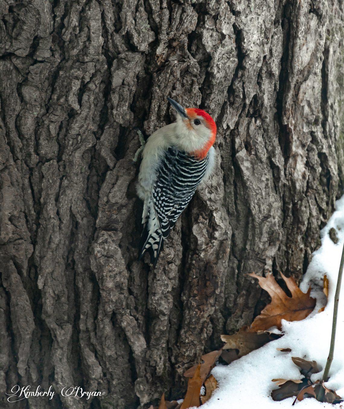Flicker searching for food on an old oak tree.