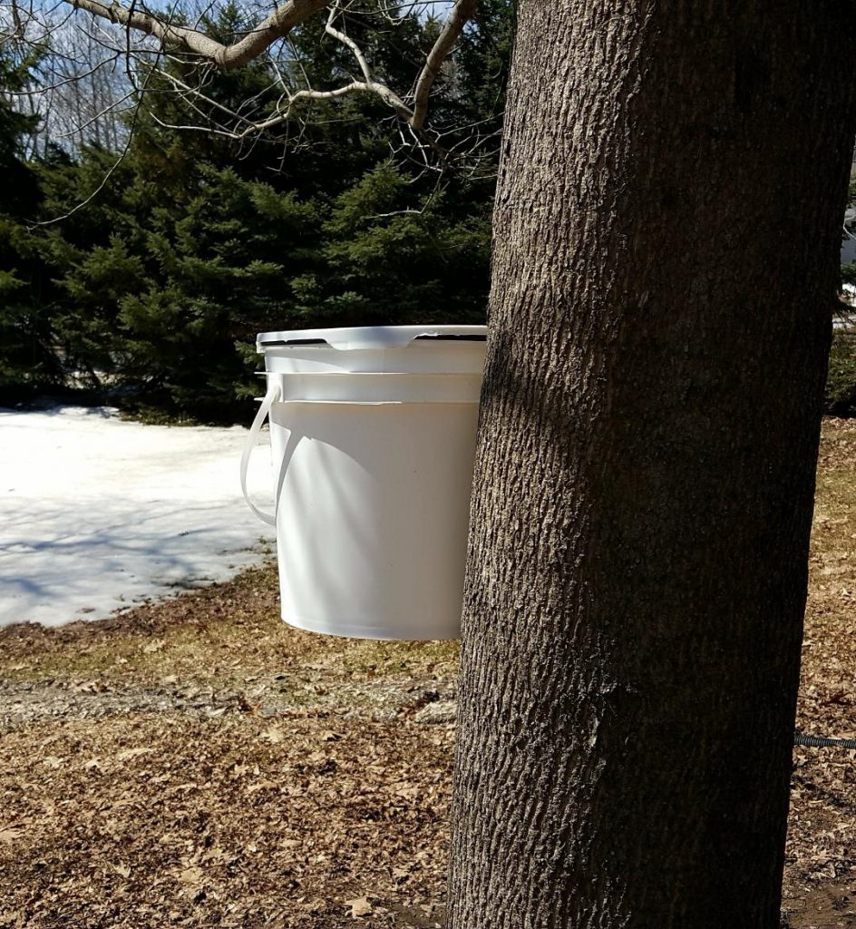 You are looking at a white food grade bucket hanging from my red maple. This is a food grade bucket I buy from my bakery.