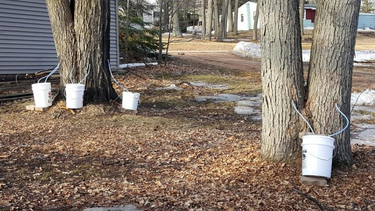 You are looking at four of my maple tree sapping. There are four buckets sitting at the base of the maples collecting sap.