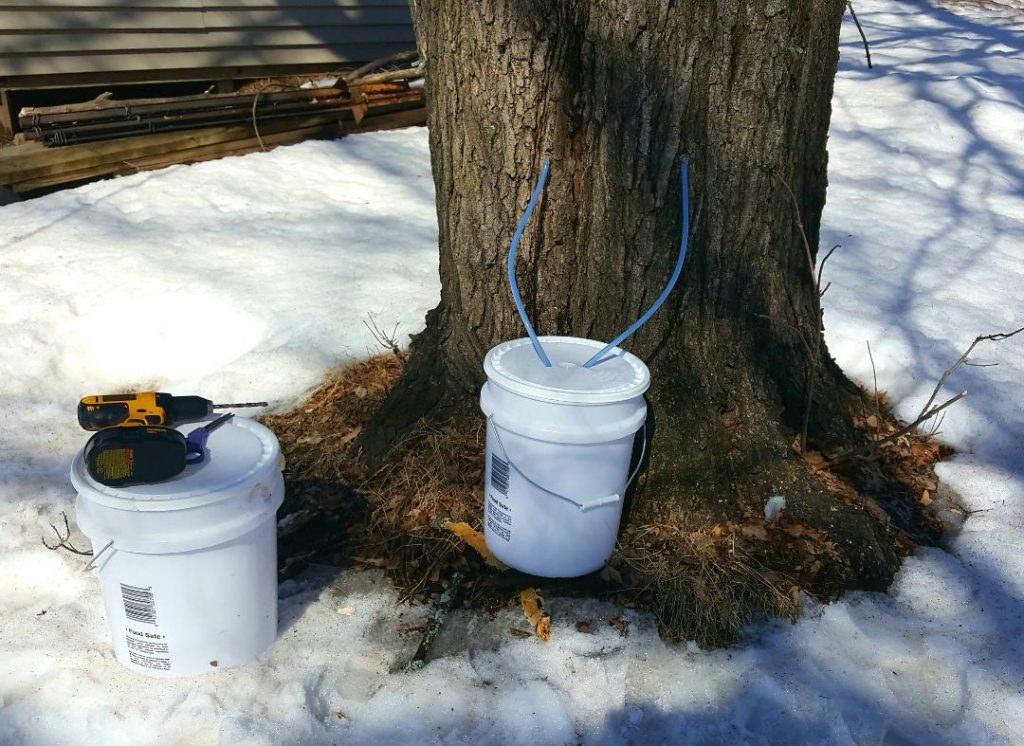 You are looking at my first set up, 2 taps flowing into a food grade 5 gallon bucket. The sap is flowing heavily from this maple.