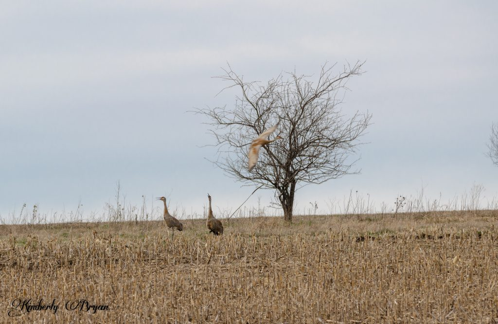 You are looking at two Sandhill Cranes, calling to a flying crane, above them.