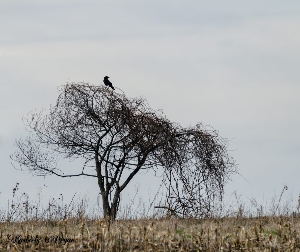 You are looking at a black crow roosted up on a tree. Keeping watch over the Sand-hill Cranes.