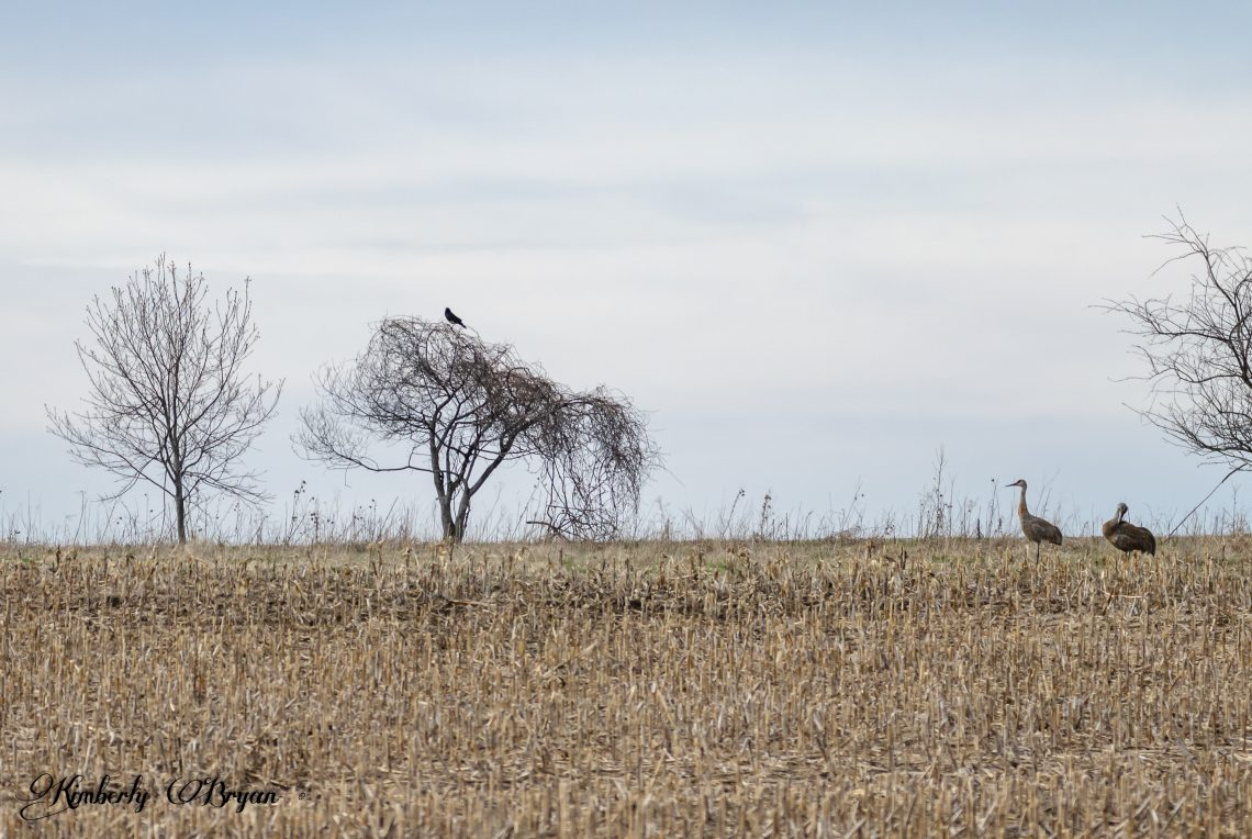 Bird's of a Feather Flock Together. In this case two Sandhill Cranes with a Crow watching over them.