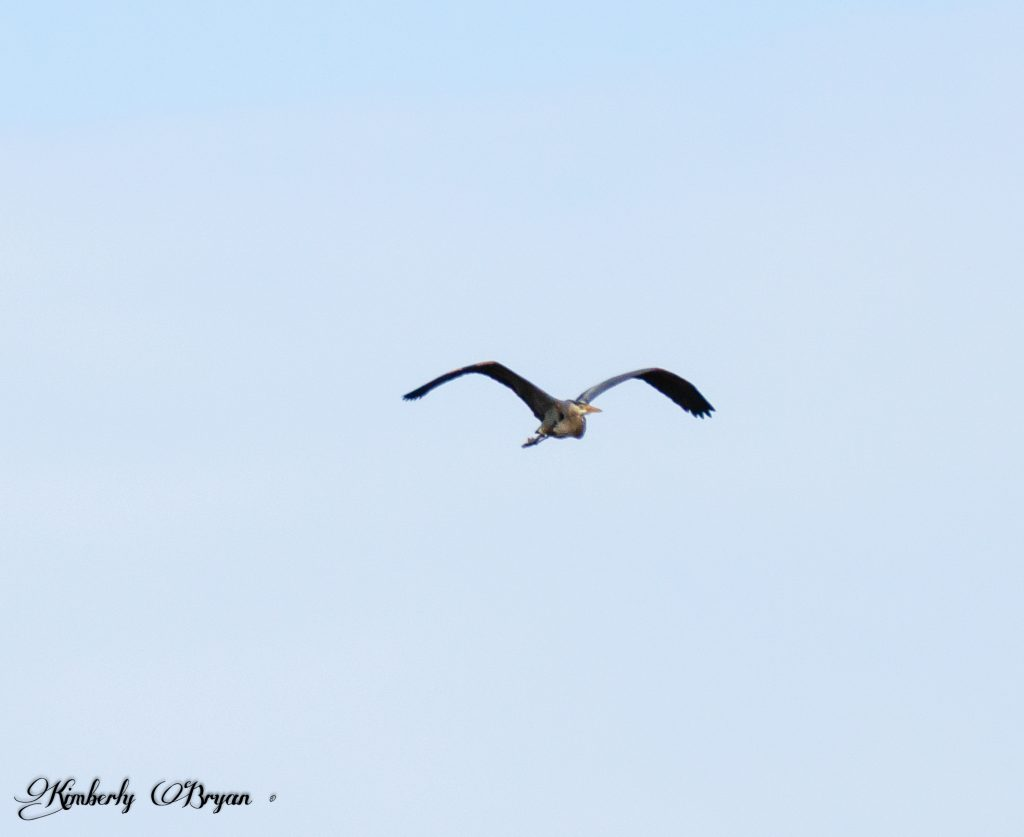 You are looking at a Great Blue Heron flying over.
