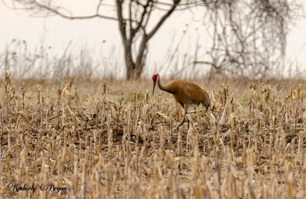 Your looking at a sandhill crane looking for a bite to eat. They have a partial red head and eyes.