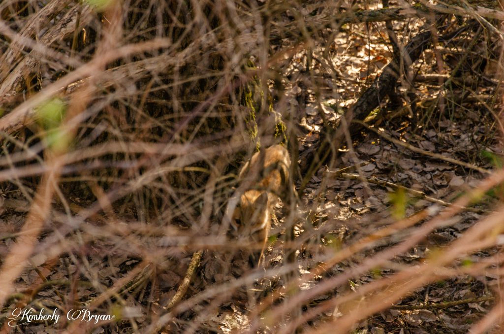 You are looking at the second little red fox. Playing in the thicket.