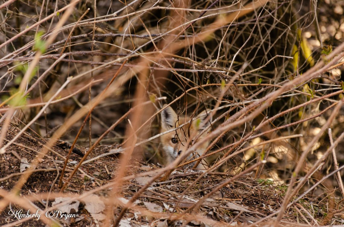 You are looking at a little red fox pecking through some brush right in front of my camera.