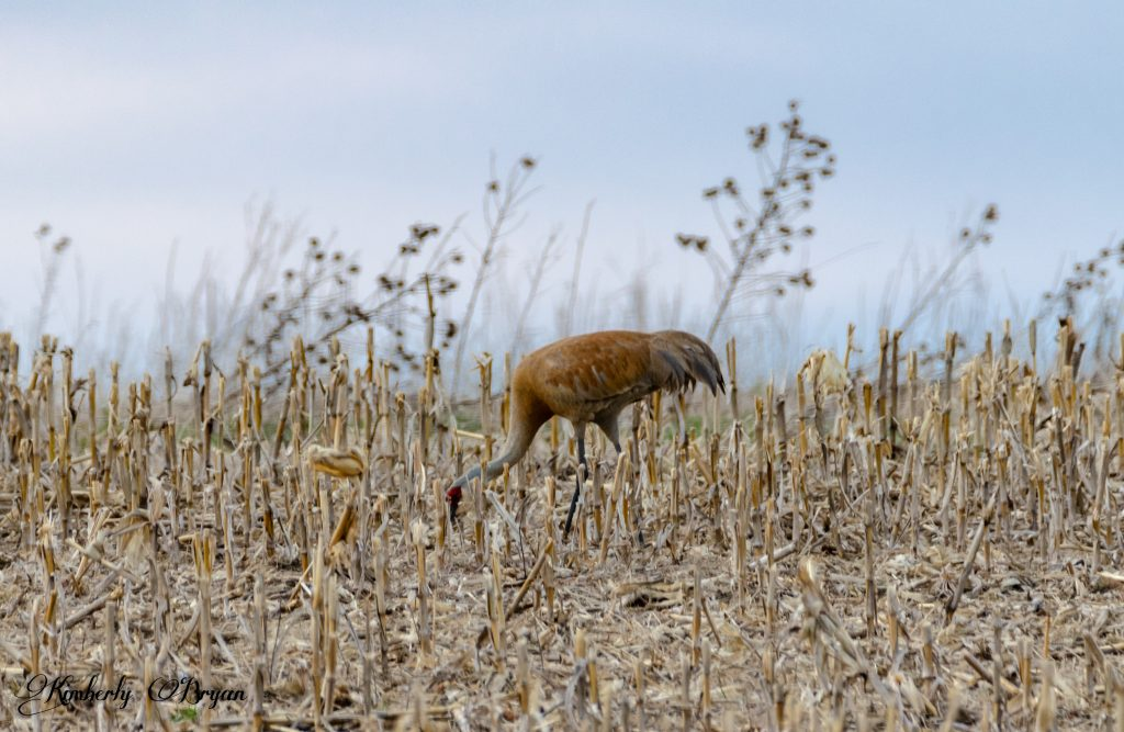You are looking at sandhill crane looking for something to eat in a corn field.