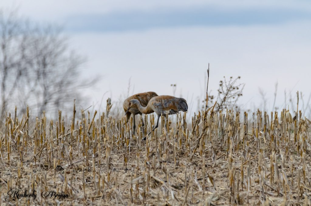 You are looking at a male and female, sandhill crane. Looking for something to eat in the corn field.