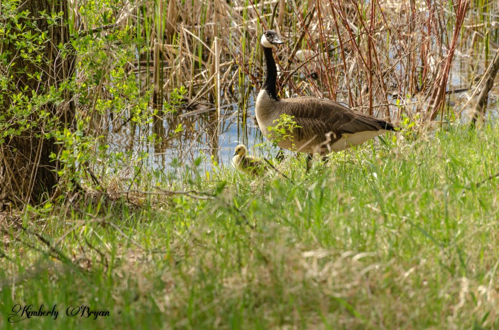 You are looking at a newly hatched gosling standing a long side his parent. Near a lake on the Green Circle Trail.