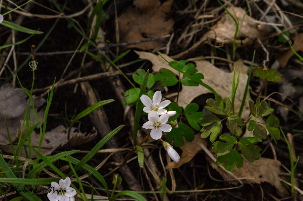You are looking at a cluster of small white flowers blooming along the Iverson Trail.