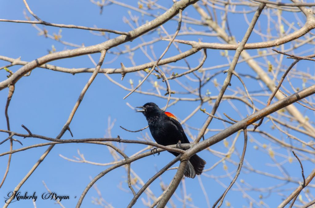 You are looking at a Red Winged Black Bird perched on a tree top.