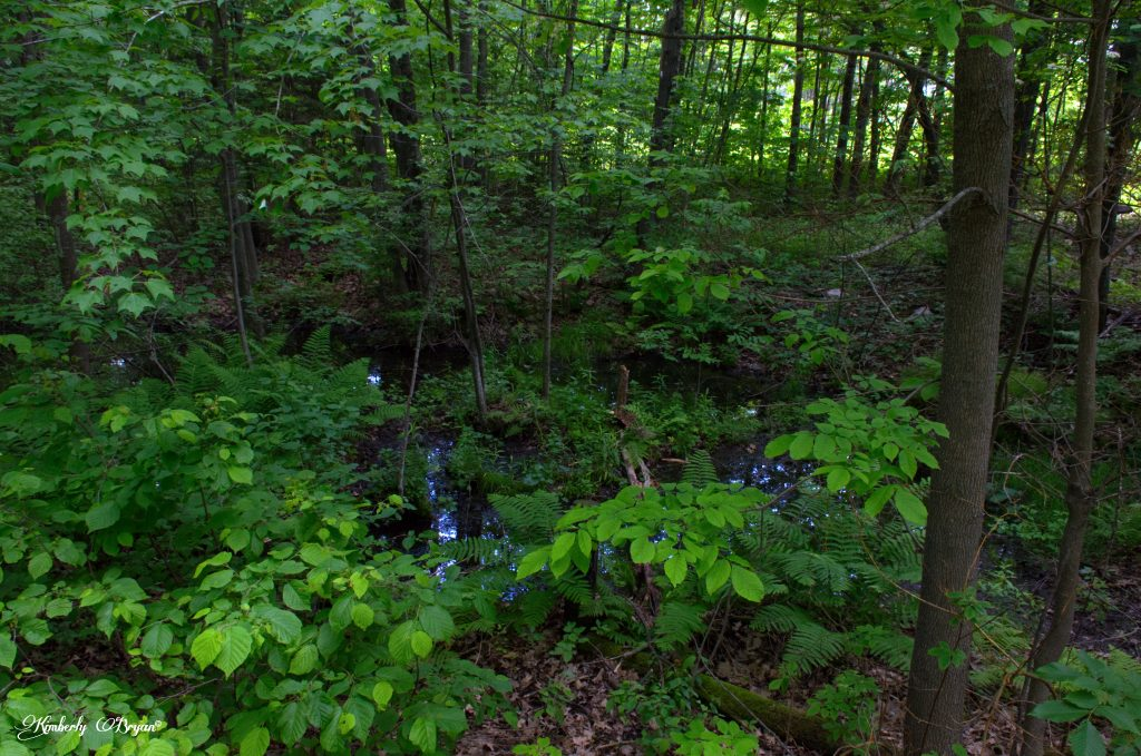 You are looking at a small pond surrounded by lush green trees, ferns, off the side of the Mountain-Bay Trail.