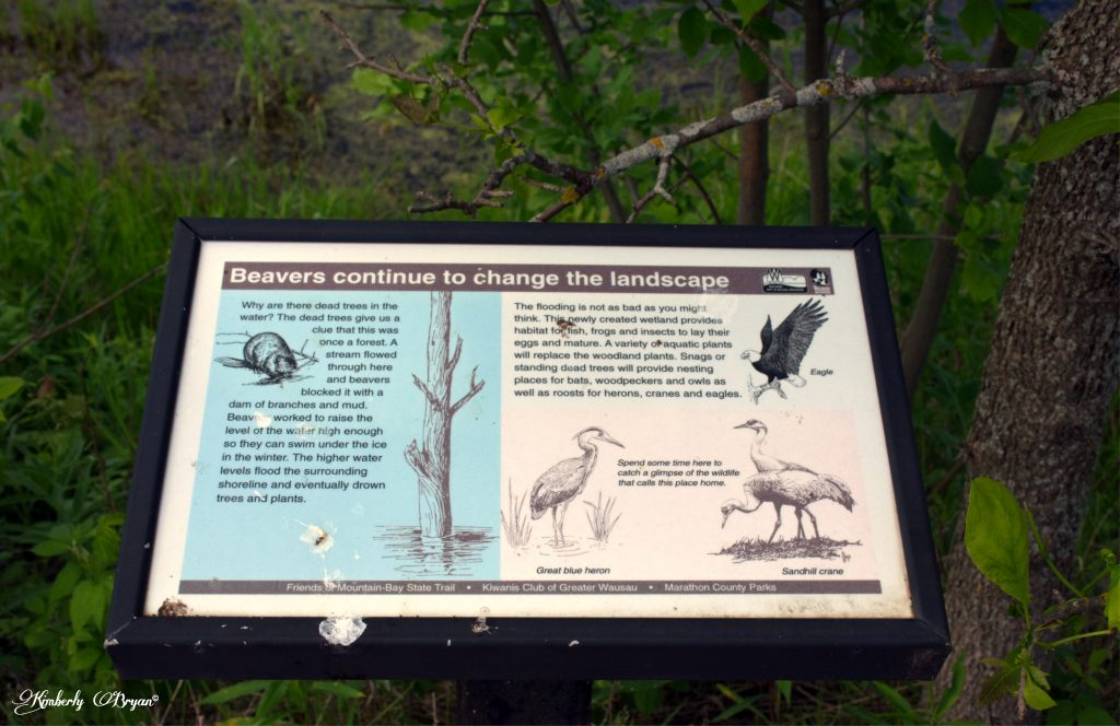 You are looking at a plaque near one of the wetlands in the Marathon County area. It says the beaver have damned up the area to create the lake.