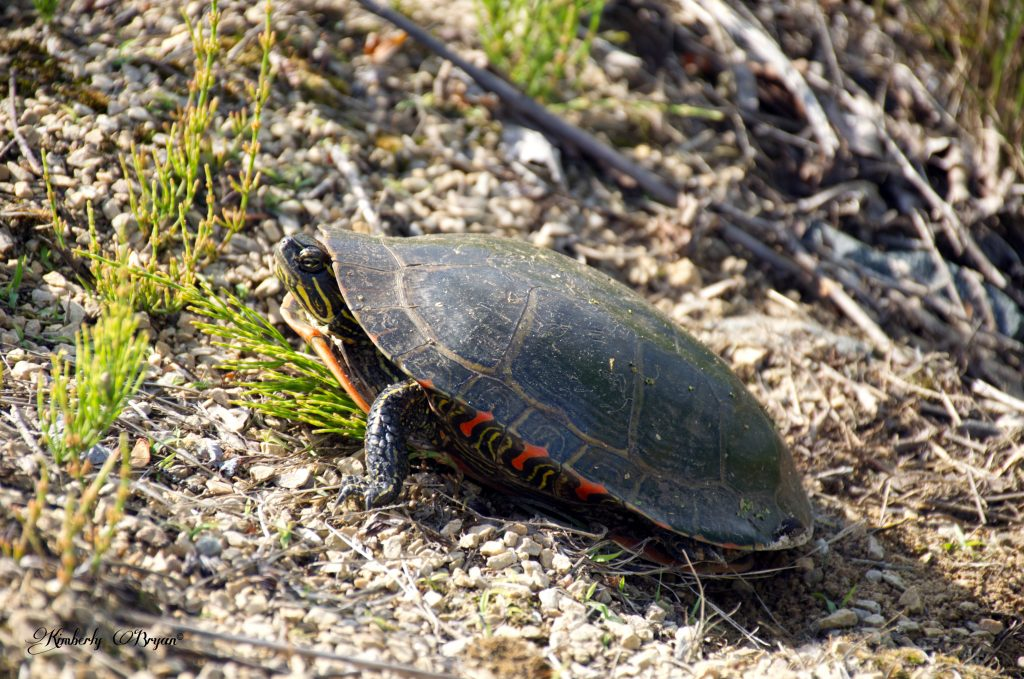 You are looking at a turtle on the side of the rail-trail. Looking for a sandy spot to lay and bury her eggs.