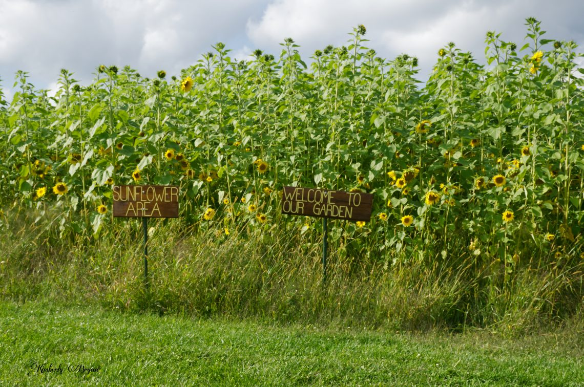 You are looking at the Welcoming signs at HZU's Sunflower Maze. The sunflowers are 10 feet tall or more. They are blooming bright yellow and facing the sun.