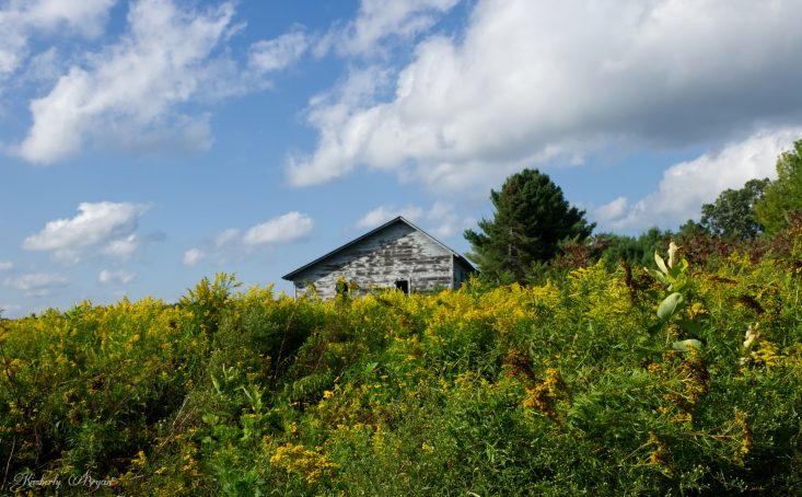 You are looking at an old white abandoned building in a field of bright yellow goldenrod flowers, from the post Goldenrod handcrafted soap.