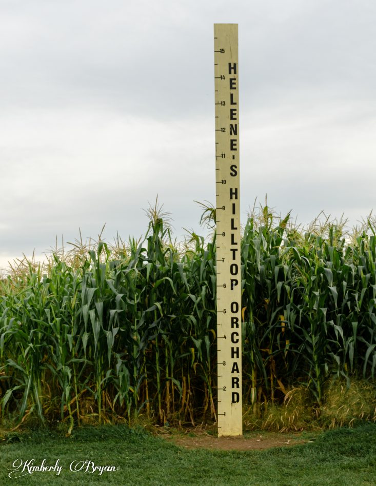 You are looking at a giant yard stick. That measures the height of the giant corn planted at Helene's Apple Orchard. This is a post from Apple Orchards in Full Swing.