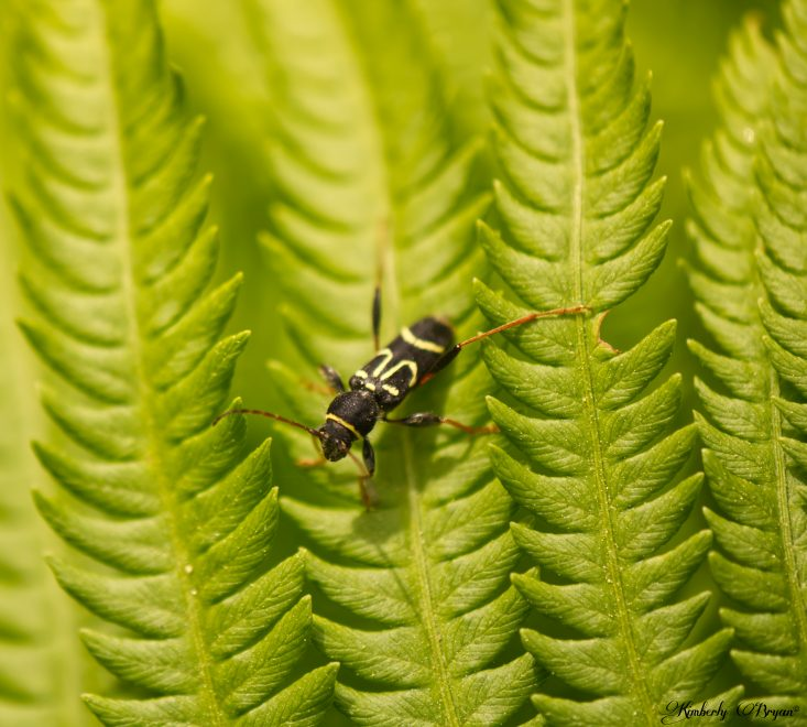 You are looking at a long bodied black beetle with yellow markings. He's resting on an ostrich fern. This is from the post Autumn Bug Photography.