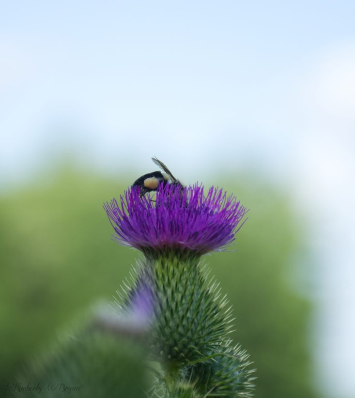 You are looking at a bumble bee enjoying the nectar from a purple thistle flower. This is from the post Autumn Bug Photography.