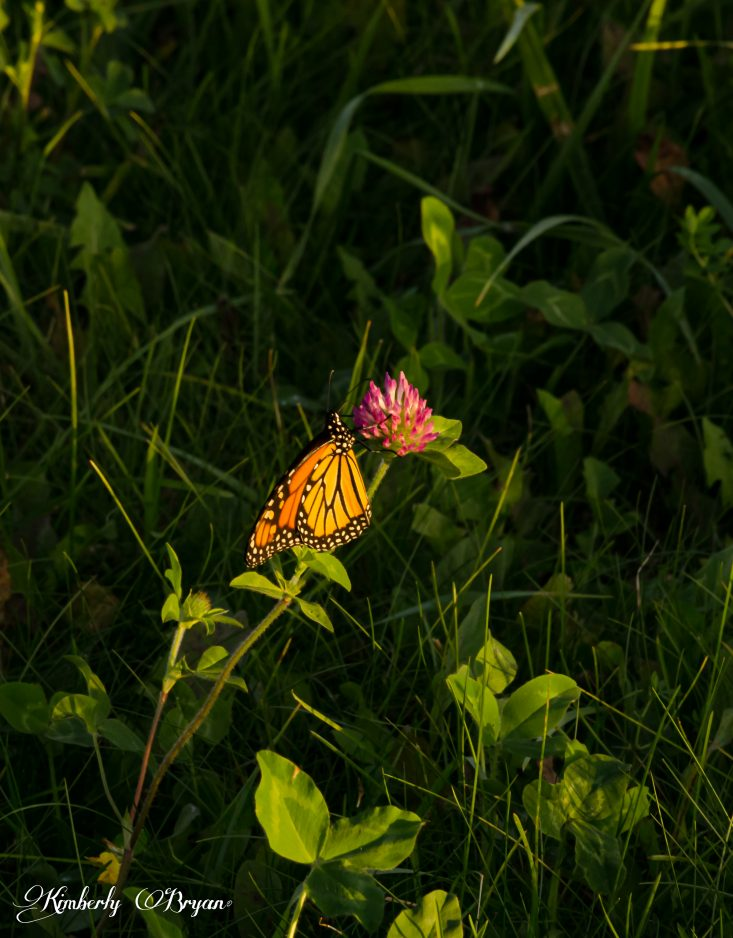 You are looking at a Monarch butterfly resting on a clover flower. He's got a long journey down to Mexico, sure hope he makes it. This is from the post Autumn Bug Photography.