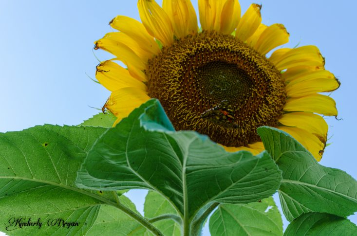 You are looking at a sunflower reaching up to the sky, with a butterfly resting on the sunflower. He or she is very camouflaged.
