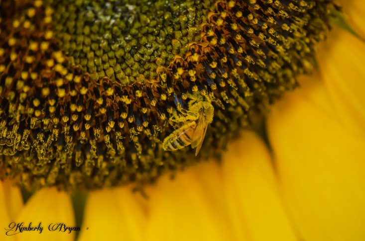 You are looking at a honey bee collecting the pollen from a giant sunflower. He is literally covered in yellow pollen, so much so you can't even see his eyes. This is from the post Autumn Bug Photography.