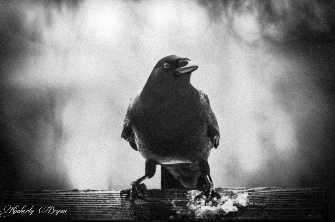 You are looking at a black and white photo I took of my Crow clan. They love coming to visit everyday and hang around the bird feeder. They are one of my favorite birds and fun to photograph. This is from my post, Happy Halloween.