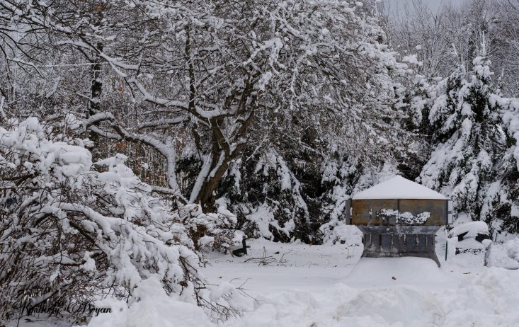 You are looking at the snow covered trees. The snow was very wet and heavy. That it caused the branches to hang to the ground.