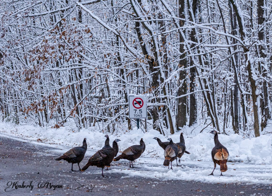 You are looking at a group of turkeys walking down the road because it snowed to deep for them. This is from my post, The Day Before Thanksgiving.